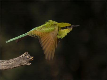 Swallow-tailed Bee-Eater - Hannes Rossouw