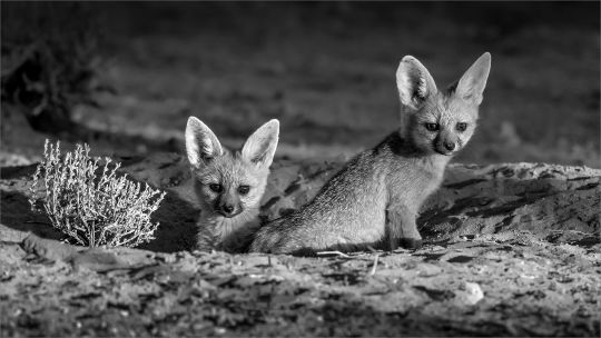Cape Foxes at Home - Gonnie Myburgh